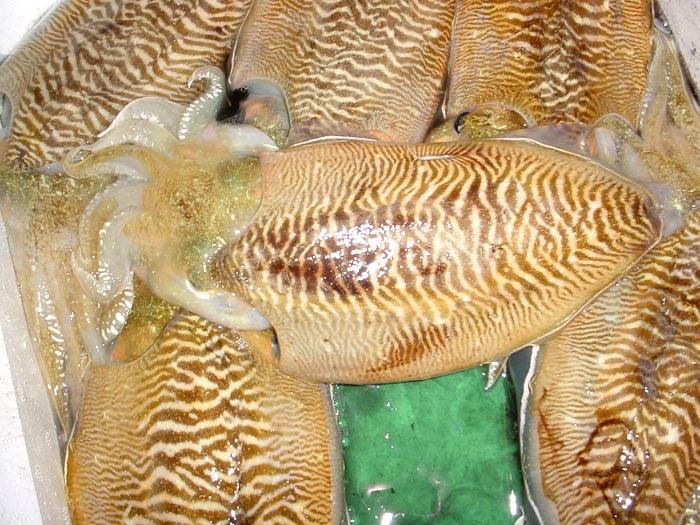 Mongoika Squid